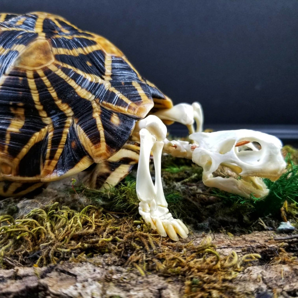 India Star Tortoise